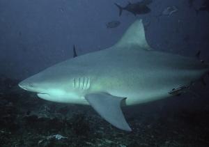 Bull shark. From Wikipedia.